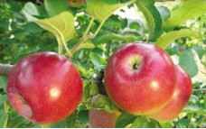 Яблоня Джина колоновидная