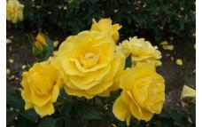 Роза Antony Meiland