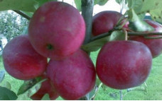 Яблоня Китайка Керр