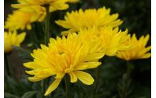 Хризантема Baltica Yellow