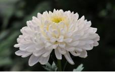 Хризантема Baltica White