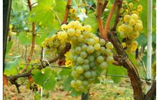 Виноград Московский белый