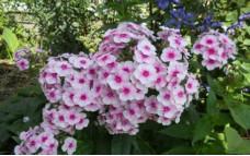 Флокс метельчатый Раноцветье