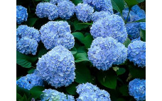 Гортензия крупнолистная Forever and Ever Blue