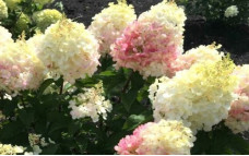 Гортензия метельчатая Little Blossom