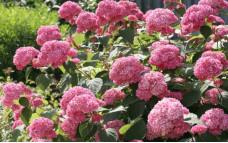 Гортензия древовидная Pink Pincushion
