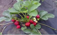 Кармен - традиционный сорт земляники садовой