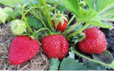 Ред Гонтлет - традиционный сорт земляники садовой