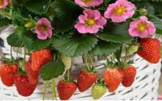Роман - ремонтантный сорт земляники садовой