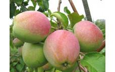 Яблоня Крупное Ртищева