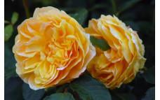 Роза кустарниковая Molineux