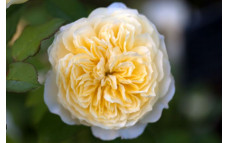 Роза Пилгрим
