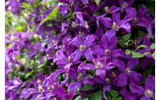 Клематис фиолетовый Polish Spirit