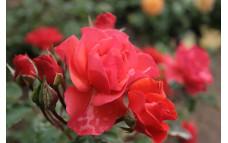 Роза Президент
