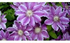 Клематис цветистый Proteus