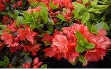 Рододендрон листопадный  Geisha Orange