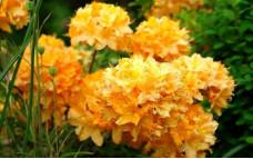 Рододендрон листопадный Golden Lights