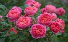 Роза Benjamin Britten