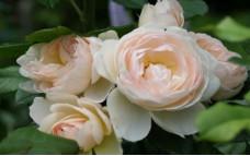 Роза Uetersener Klosterrose