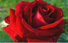 Роза ВиноРоссо