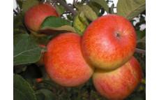 Яблоня Солнышко
