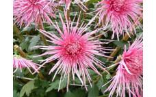 Хризантема Spider Pink