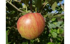 Яблоня Спасское