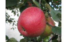 Яблоня Суперинтенсивное